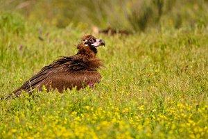 Black vulture.