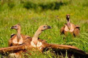 Vultures.