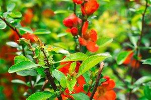 spring shrub