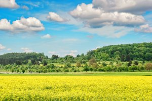 Rapeseed field with cloudy blue sky