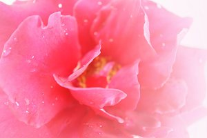 sweet pink rose in soft color style