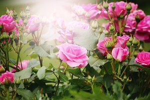 Beautiful pink roses in sun light