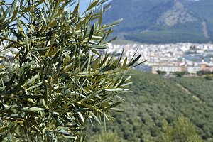 Olive tree and Rute village in the background