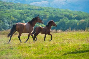 Running dark bay horses