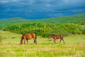 Dark bay horses on a meadow