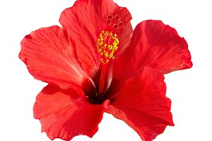 Red flower- Hibiscus rosa