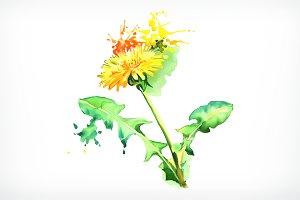 Watercolor painting, dandelion