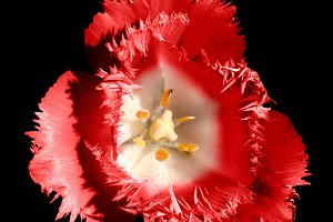 Surreal red tulip flower isolalated