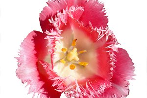 exotic pink tulip flower isolated
