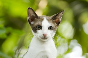 young thai cat