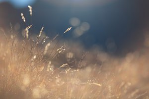 Golden Grass