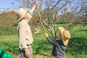 Senior man and kid picking apples with wood stick