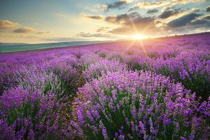 Meadow of lavender. Landscape nature