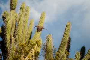Desert bird in mid flight