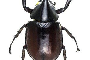 Xylotrupes gideon, Dynastidae