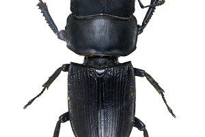 Serroguathus reichet beetle