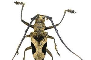 Cerambycidae , paraleprodera
