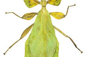 Phyllium sicipholium, leaf insect