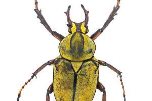 reindeer beetle