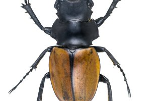 Stag Beetles , Odontolabis elegans