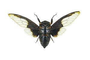 Cpytotymtan aquila, cicada