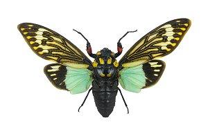 Tosena splendida , cicada