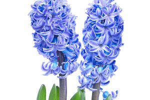 Two blue flowers hyacinthe