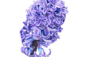 Beautiful blue flower hyacinth