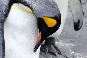 Penguin closeup from Hokkaido,Japan