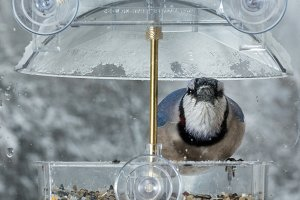 Blue Jay on window bird feeder