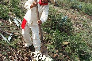 Tipical Jimador man working