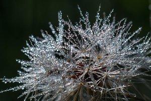 High Contrast Dew Drops