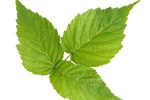 Raspberry green leaves
