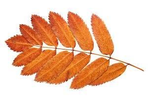 Branch of autumn leaves