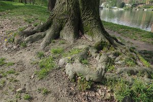 Tree roots near a river