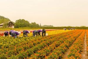 Marigold harvest time  in Japan