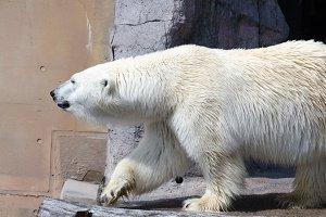 White polar bear in Hokkaido , Japan