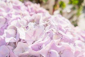 Flowers of hydrangeas.