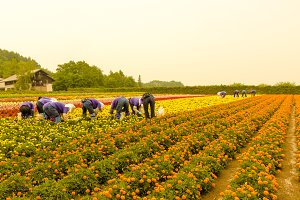 Marigold field in Harvest time