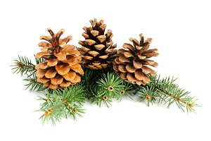 Fir branches with cones