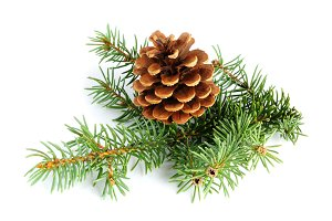 Spruce branches with fir cone