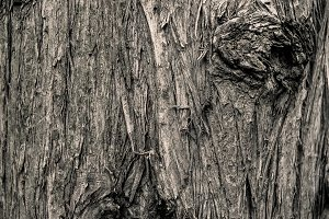 Pine bark texture background