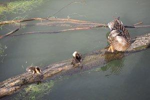 Baby duck birds