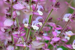 Salvia sclarea flowers