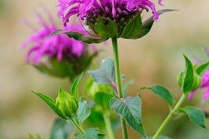 Monarda fistulosa flower