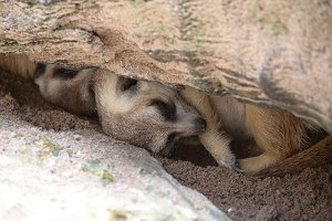 meerkat sleeping under stone hollow