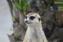 meerkat sitting on old wood