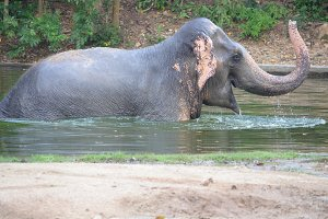 elephant playing in water
