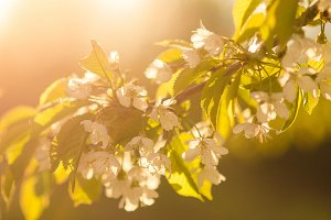 Spring blooming cherry branch with flowers the sun noise