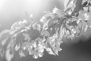 blooming spring flowers in the sun with sprig of cherry black and white noise